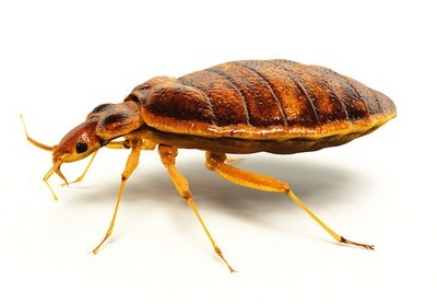 Bed bugs & how to get rid of them