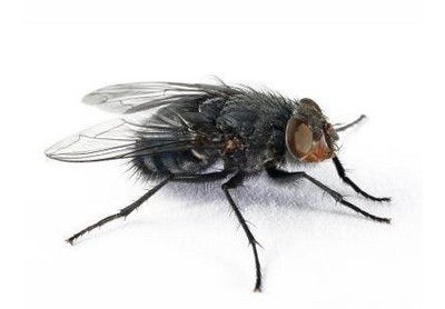 Flies & how to get rid of them
