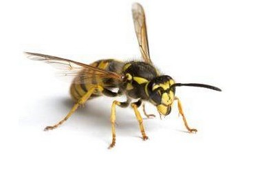 Wasps & Bees, & how to get rid of them