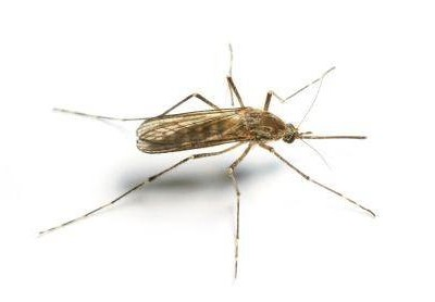Mosquitoes & how to get rid of them