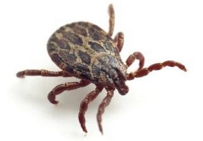 Ticks & how to get rid of them